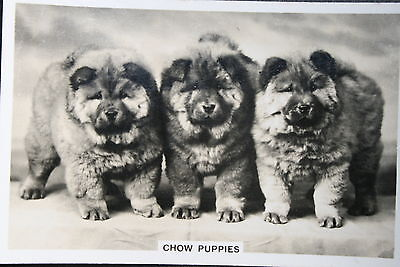 CHOW CHOW Puppies     Original Vintage Photo Card  Excellent Condition