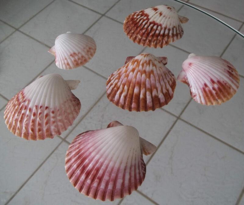 6 Pecten Scallop Pacifico Calico Seashell Beach Nautical Decor Tropical