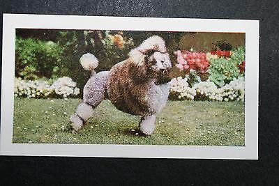 POODLE      Vintage Colour Photo Card  ## VGC