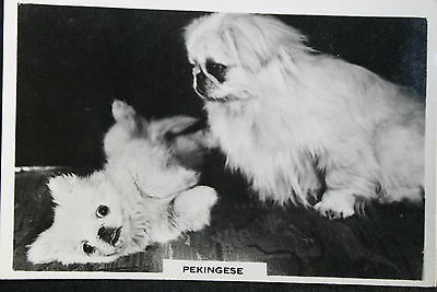 PEKINGESE Toy Dogs   Adult & Puppy  Vintage Photo Card # VGC