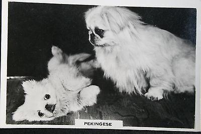 PEKINGESE   Vintage Black & White Photo Card # VGC