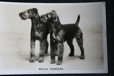 Welsh Terrier   Vintage Black & White Photo Card  # VGC