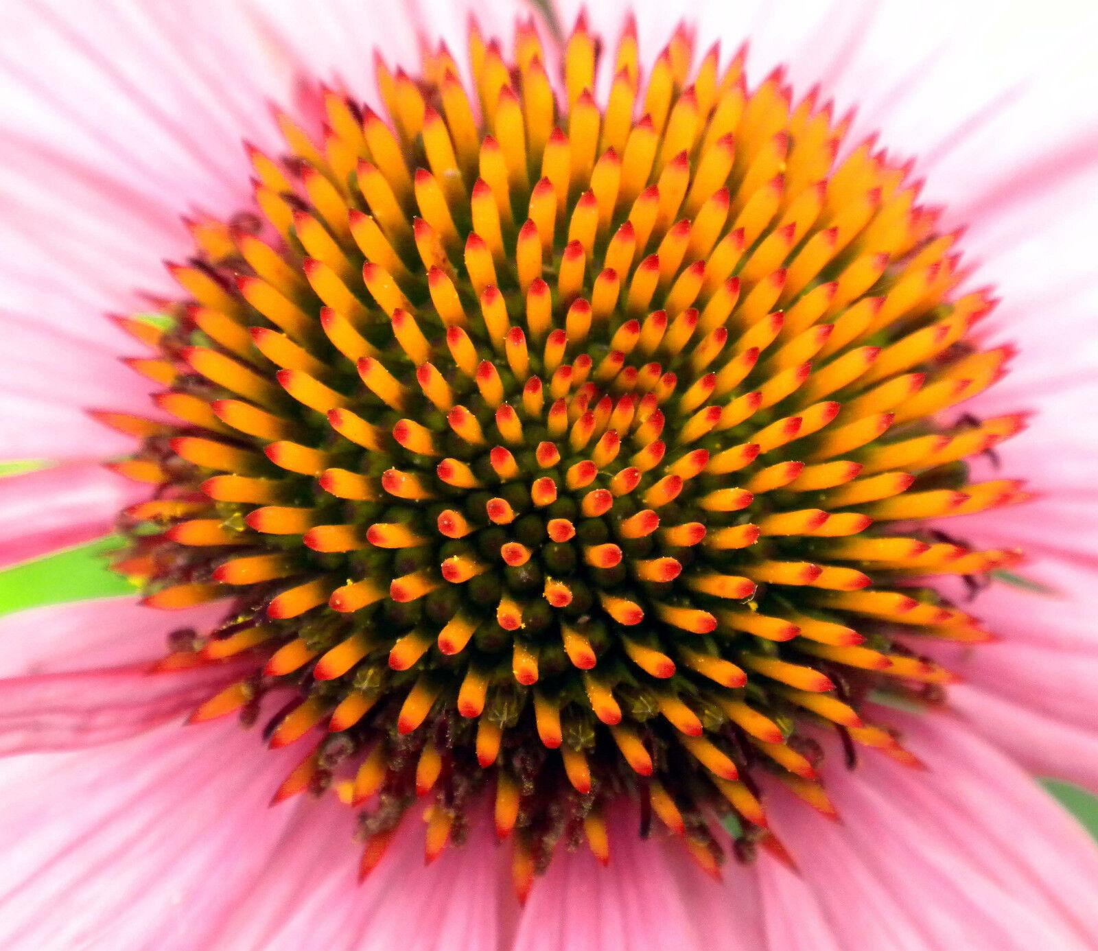 1 Gram Organic Echinacea purpurea seeds healing purple cone flower 100+ seeds