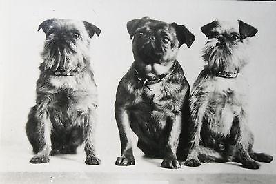 Brussels Griffon  Trio   Vintage Photo Card  # VGC