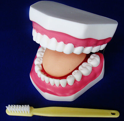 Model Anatomy Professional Medical Mouth Cavity Health Care Tooth Brush Artmed