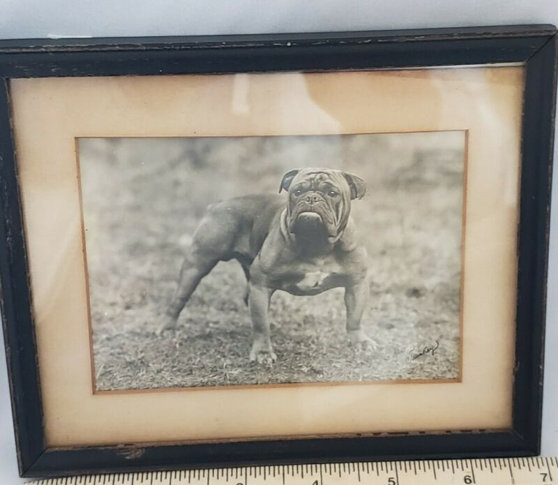 Antique Bulldog Photograph Vintage Dog Photo Boxer Framed Picture Signed b & w
