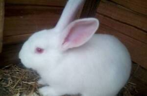 Baby British Giant rabbits for sale Dover Huon Valley Preview