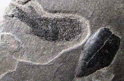 Fossil Fish And Coprolite   Paramblypterus   Spodni Fm  Czech Republic Permian