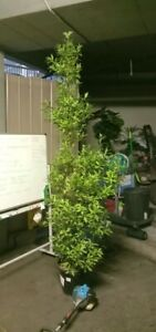 Ficus tree, healthy, large, ready to plant