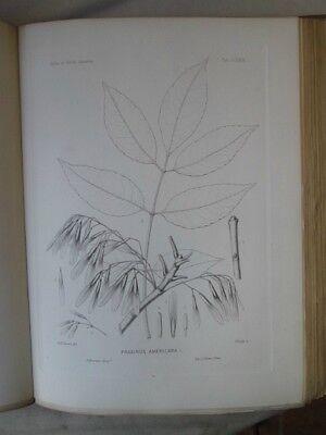 Vintage Print,Plate 268, WHITE ASH, 1st Ed,c1900, SILVA, Trees