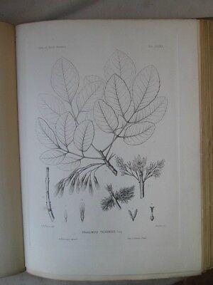Vintage Print,Plate 269, WHITE ASH, 1st Ed,c1900, SILVA, Trees