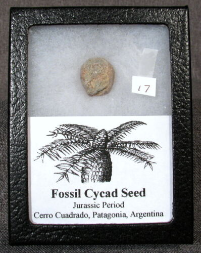 Fossil Cycad Seed Jurassic Period, Patagonia, Argentina #17