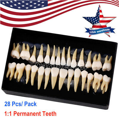 Us Dental 11 Permanent Teeth Demonstration 28pcs Study Model Tooth Model 7008