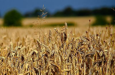 Glenn Red Hard Spring Wheat Seeds (~200): Certified Organic, Non-GMO Seed Packet