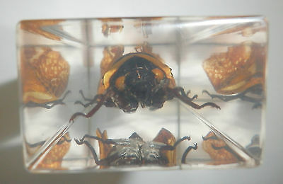 Golden Cicada Platypleura hilpa in Clear Paperweight Education Insect Specimen