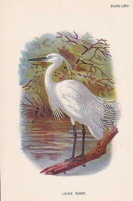 Seidenreiher Egretta garzetta LITHOGRAPHIE 1896 LITTLE EGRET Ornithologie
