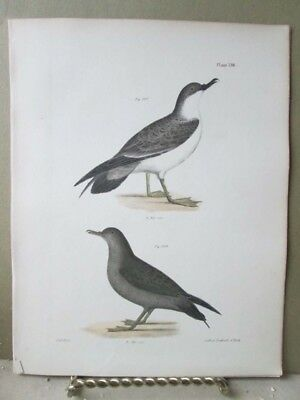 Vintage Print,BIRDS,LARGE SHEARWATER,Zoology,NY,Fauna,1844