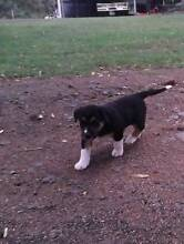 Kelpie x Collie cross pups North Branch Toowoomba Surrounds Preview