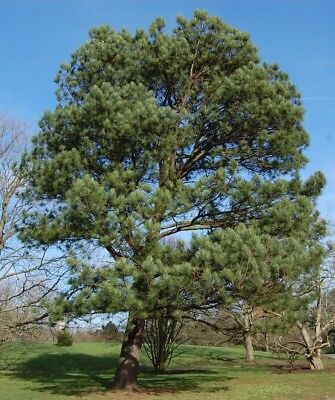 5 PINE TREES LIVE PLANTS EVERGREEN LOBLOLLY PINUS TAEDA SAPLING LANDSCAPING - Loblolly Pine Trees