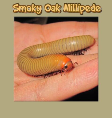 Smoky Oak Millipede (NARCEUS GORDANUS) Educational & Fun