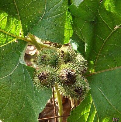 Greater Burdock Arctium Lappa Seeds Medicinal Homeopathic Healing Health Coffee