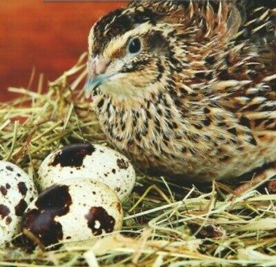 Quail Hatching Eggs-jumbo Meatmakers 26- 2 Dozen Shipping Included