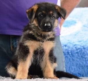 German Shepherd Puppy ( Registered Breeder) Campbelltown Campbelltown Area Preview