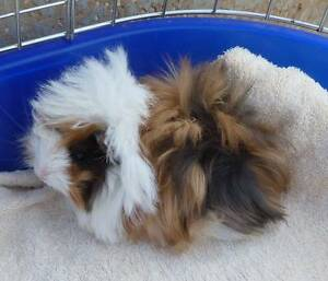 GORGEOUS PURE LONG HAIRED GUINEA PIG BABIES 5 & 7 WEEKS OLD Murray Bridge Murray Bridge Area Preview