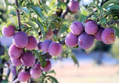 1 DWARF SANTA ROSA PLUM TREES 18-24 INCH  FLOWERING FRUIT TREES  LIVE PLANTS