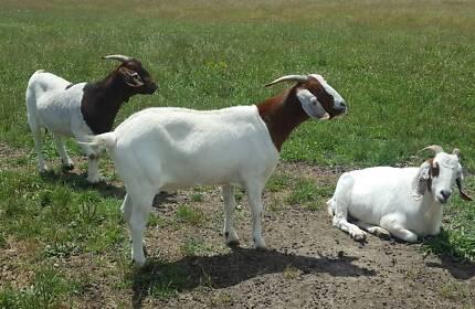Boar goat does