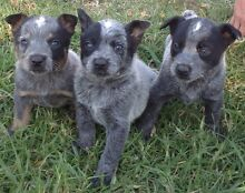 Blue healer puppies Mount George Greater Taree Area Preview