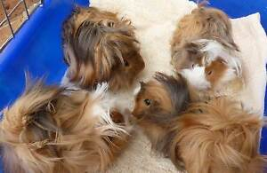 JUST $15 EACH - PURE LONG HAIRED GUINEA PIGS - BOYS ONLY Murray Bridge Murray Bridge Area Preview