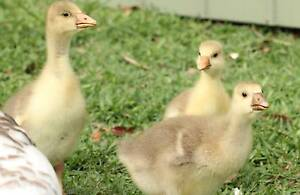 Embden X Toulouse goslings (Geese) Lota Brisbane South East Preview