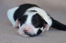 Labradoodle Puppies Jimboomba Logan Area Preview