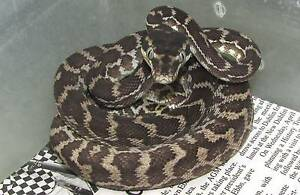 Rough Scaled Pythons - Juvies Direk Salisbury Area Preview