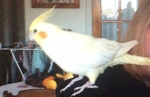 Wanted to buy, Cockatiel, Must be Young preferably a female Merimbula Bega Valley Preview
