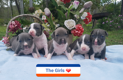 Stunning Pure Bred Blue American Staffy Pups for Sale