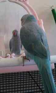 LOST BLUE INDIAN RINGNECK PARROT Daisy Hill Logan Area Preview