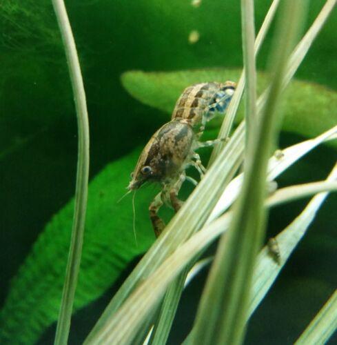 3 Live Adult Dwarf Cajun Crawfish, FREE SHIPPING+Berried Cambarellus shufeldtii