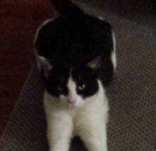 Lost Black and White Cat Langford Area Langford Gosnells Area Preview