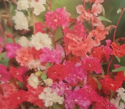 (Clarkia Double Mix Seed - 1 Packet)