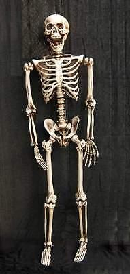 Menschliches Skelett 158cm Anatomie Lehrmodell  358