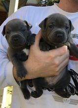 Purebred Papered Blue English Staffordshire Bull terrier Pups Albury Albury Area Preview
