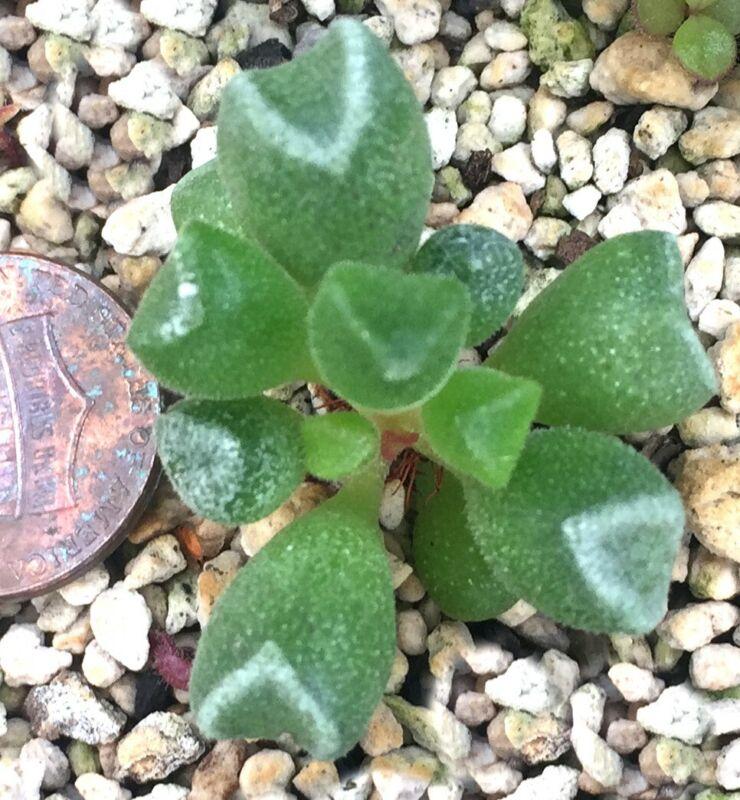 Succulent Plant--Adromischus cristatus schoenlandii--Cute Leaves!