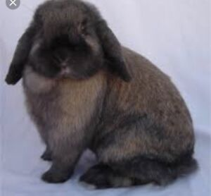 Holland lop with huge cage needs home today