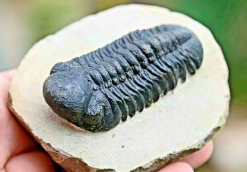 Trilobite Fossil, Reedops cephalotes hamlagdadianus, from Morocco #4