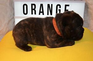 French bulldog pups 2 males left  ready early January Waroona Waroona Area Preview