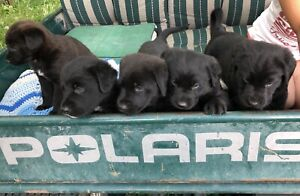 Lab Shepherd Pups for sale