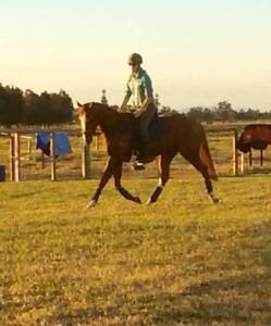 SASSY quiet blingy sweet mare Medowie Port Stephens Area Preview