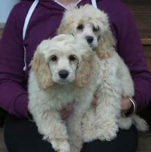 TOY SPOODLE, 2 x Blonde Apricot Males - 12weeks old.  READY NOW! Gatton Lockyer Valley Preview